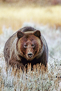 Fall Grizzly