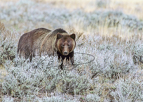 Grizzly Bear, K.E. Pack Photography