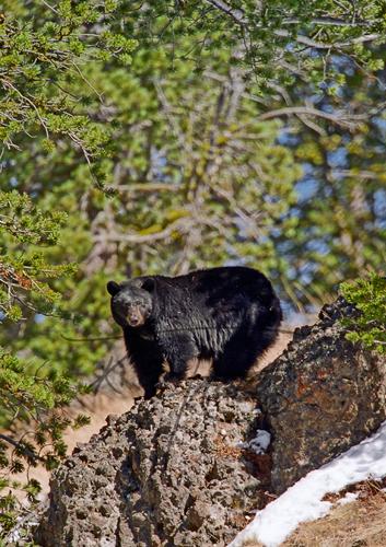 North American Black Bear on rock outcrop