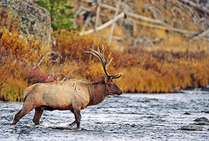 Bull Elk crossing a river with fall colors in the foliage
