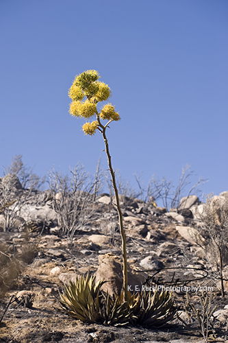 Shaw's Agave in bloom survives fire