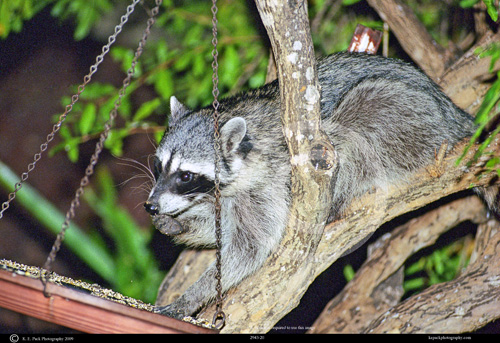Racoon eating from bird feeder