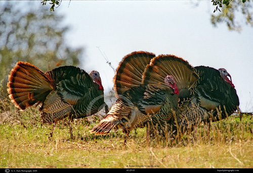 Merriam's Tom Turkeys