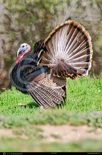 Rio Grande Tom Turkey