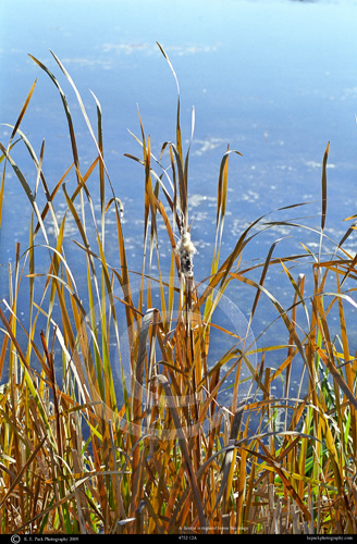 Cattails on the Snake River