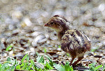 Valley Quail chick